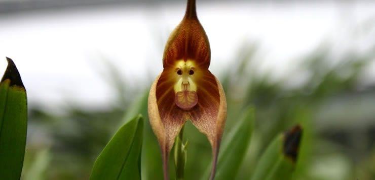 """A """"flor cara-de-macaco"""" possuem em seu interior um desenho que se assemelha a cara de um macaco"""