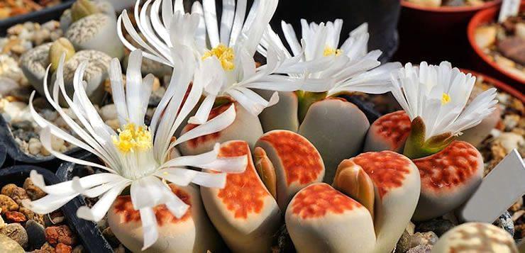 As flores da espécie Lithops karasmontana se parecem com pedras