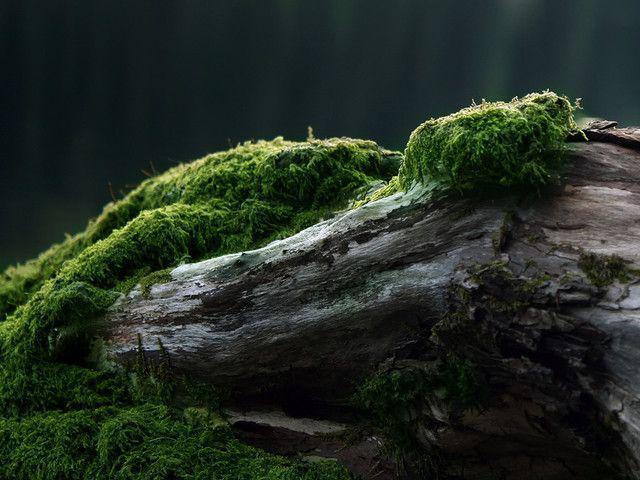 Moss - papel de parede para pc