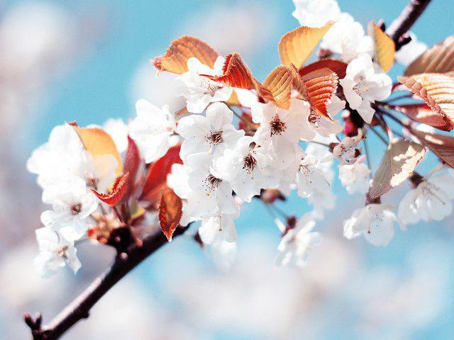Cherry Flowers - papel de parede para pc