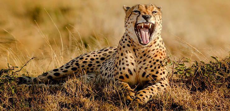 Da família dos felinos, o guepardo ou chita é o animal terrestre mais rápido do mundo