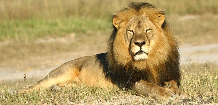 O rei das savanas fica em segundo lugar entre os maiores felinos