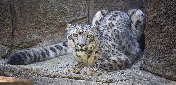 O leopardo-das-neves vive nas grandes altitudes da Ásia central