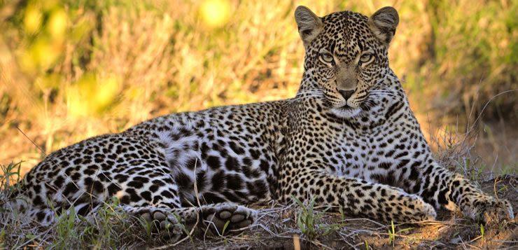 O leopardo é um felino nativo das savanas africanas e das florestas da Ásia
