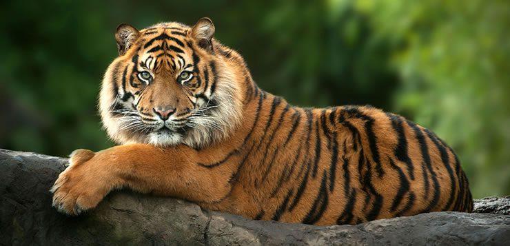 O tigre é o maior e o mais pesado de todos os felinos