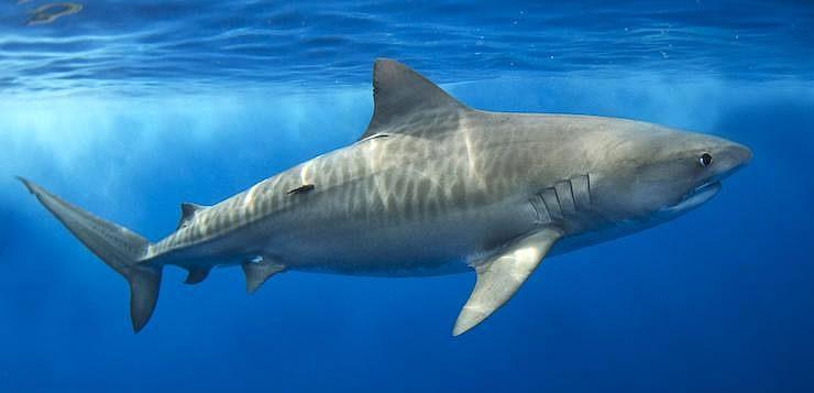O tubarão-tigre pode chegar a 6 metros de comprimento