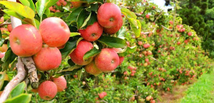 A rota da seda permitiu o plantio de mudas de macieiras por outras regiões