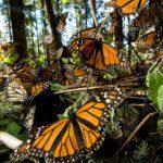 A jornada de migração das borboletas-monarcas