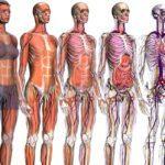 Google Body Browser – Uma viagem pelo interior do corpo humano