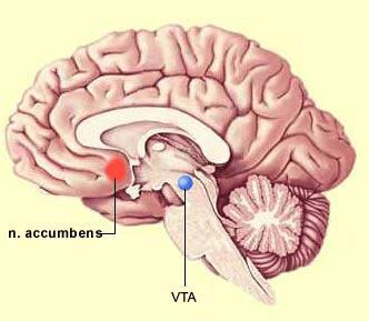 núcleo accumbens