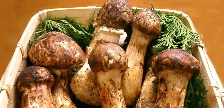 O quilo do cogumelo Matsutake custa aproximadamente US$ 1.000