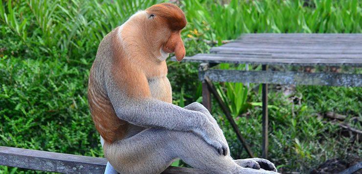 Entre os primatas, o macaco-narigudo é um dos animais mais exóticos