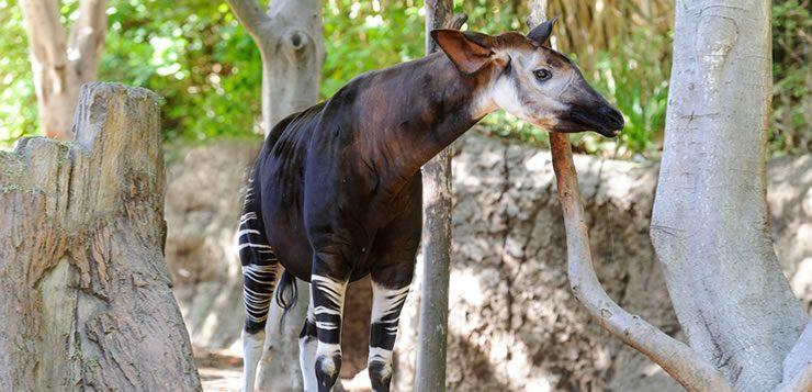 O ocapi é uma mistura exótica de cavalo, zebra e girafa.