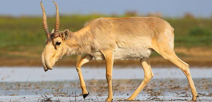 O saiga é um antílope que se destaca por ter um nariz parecido com o de um elefante