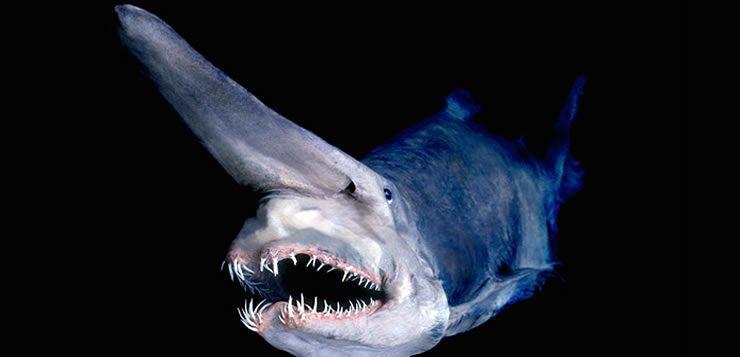 O tubarão duende se destaca por ter nariz comprido e achatado localizado sobre a cabeça